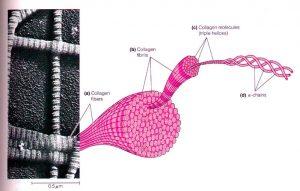 Collagen fibre